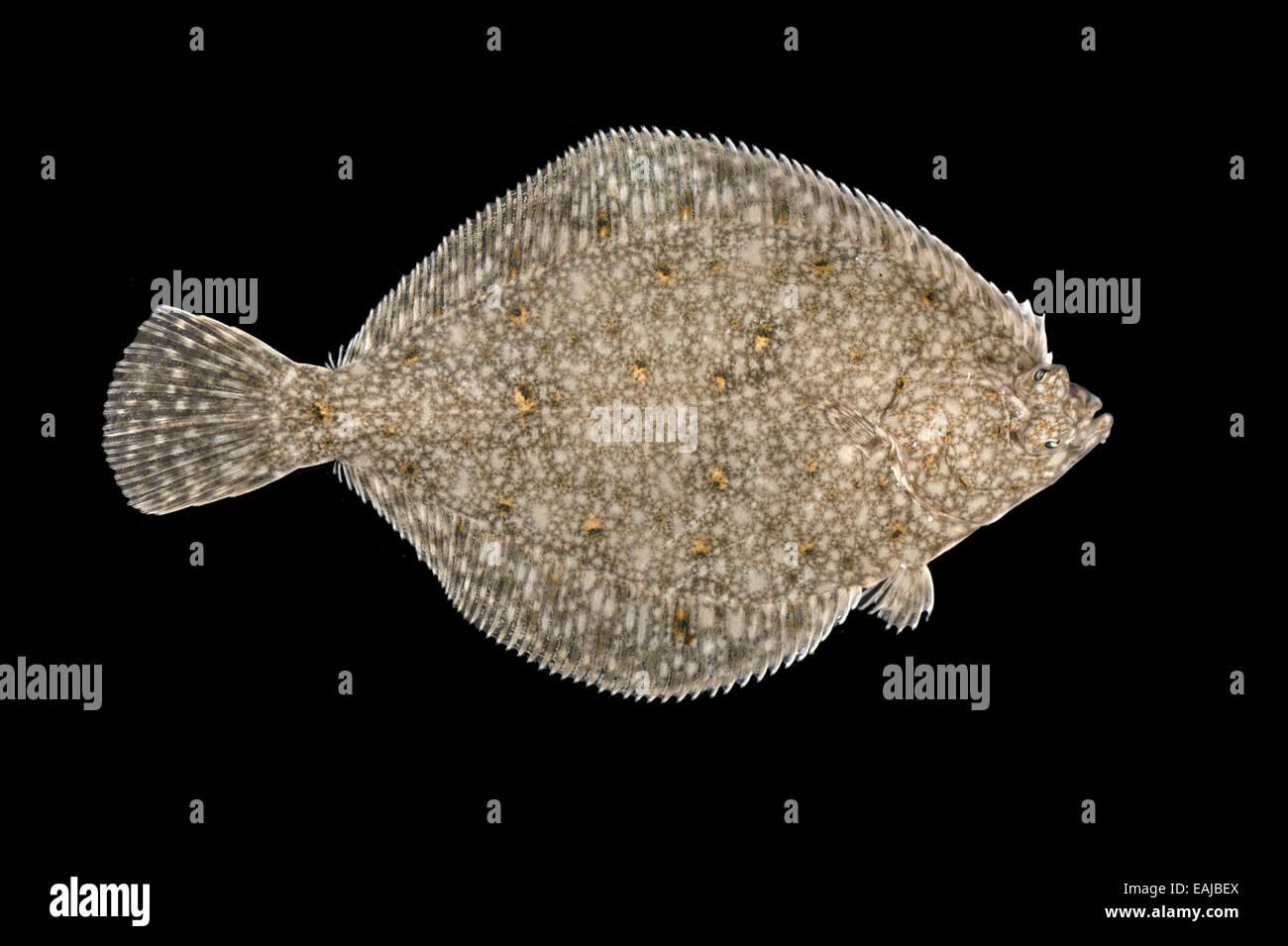 Plaice - Pleuronectes platessa - Stock Image