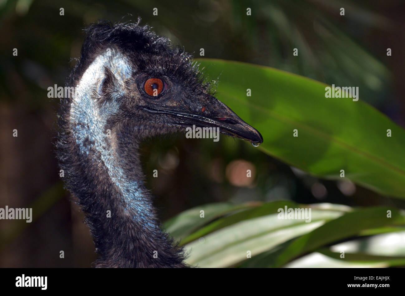 Wild Emu bird profile in Queensland, Australia. - Stock Image