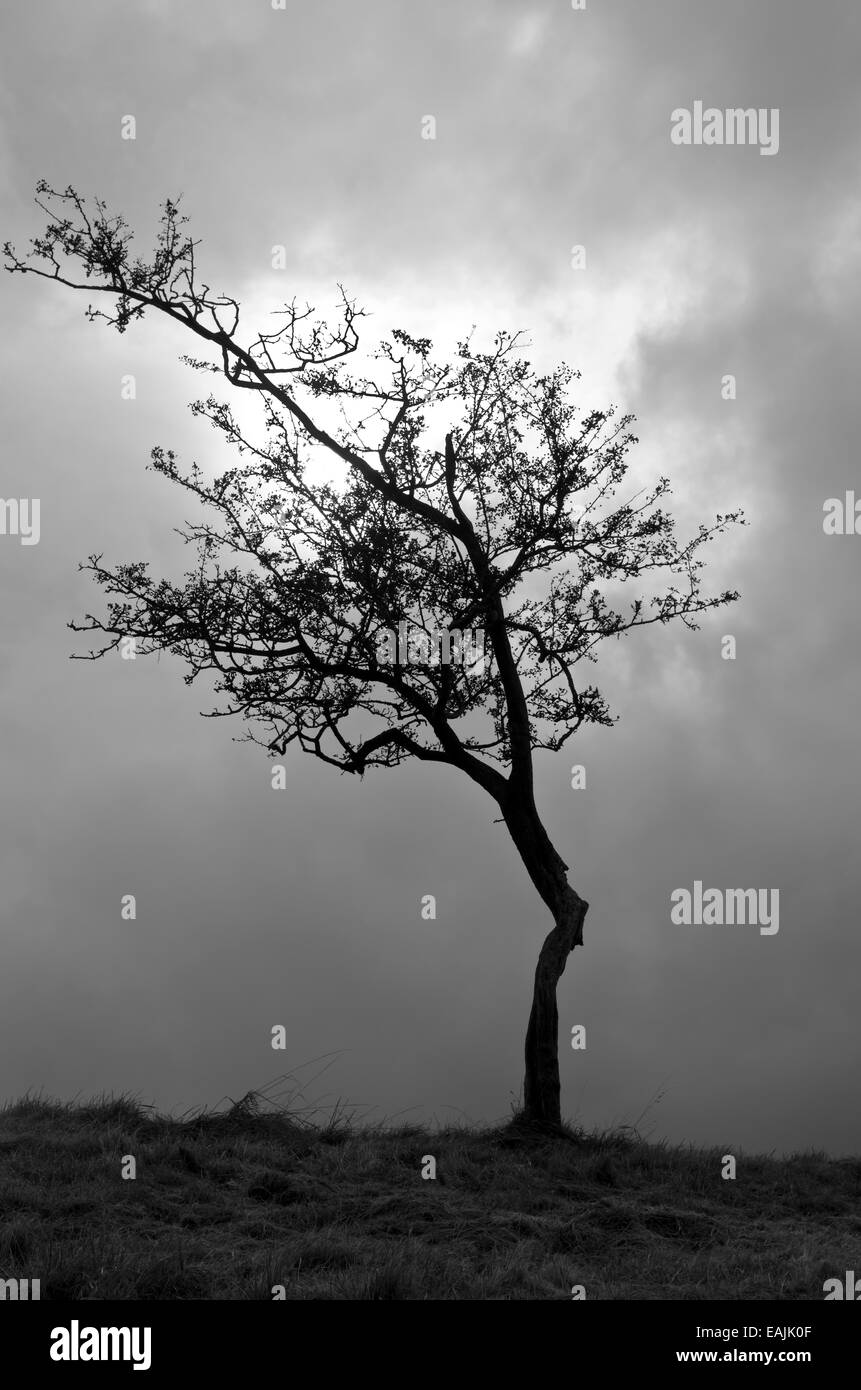 Silhouette of hawthorn tree with sun in backround. - Stock Image