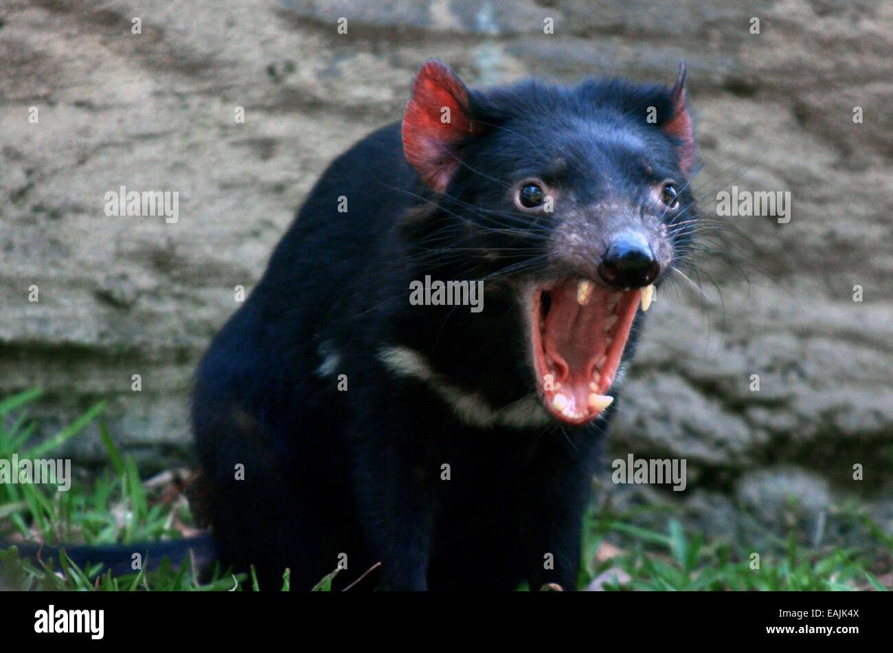 Tasmanian Devil (Sarcophilus harrisii) snarling. - Stock Image