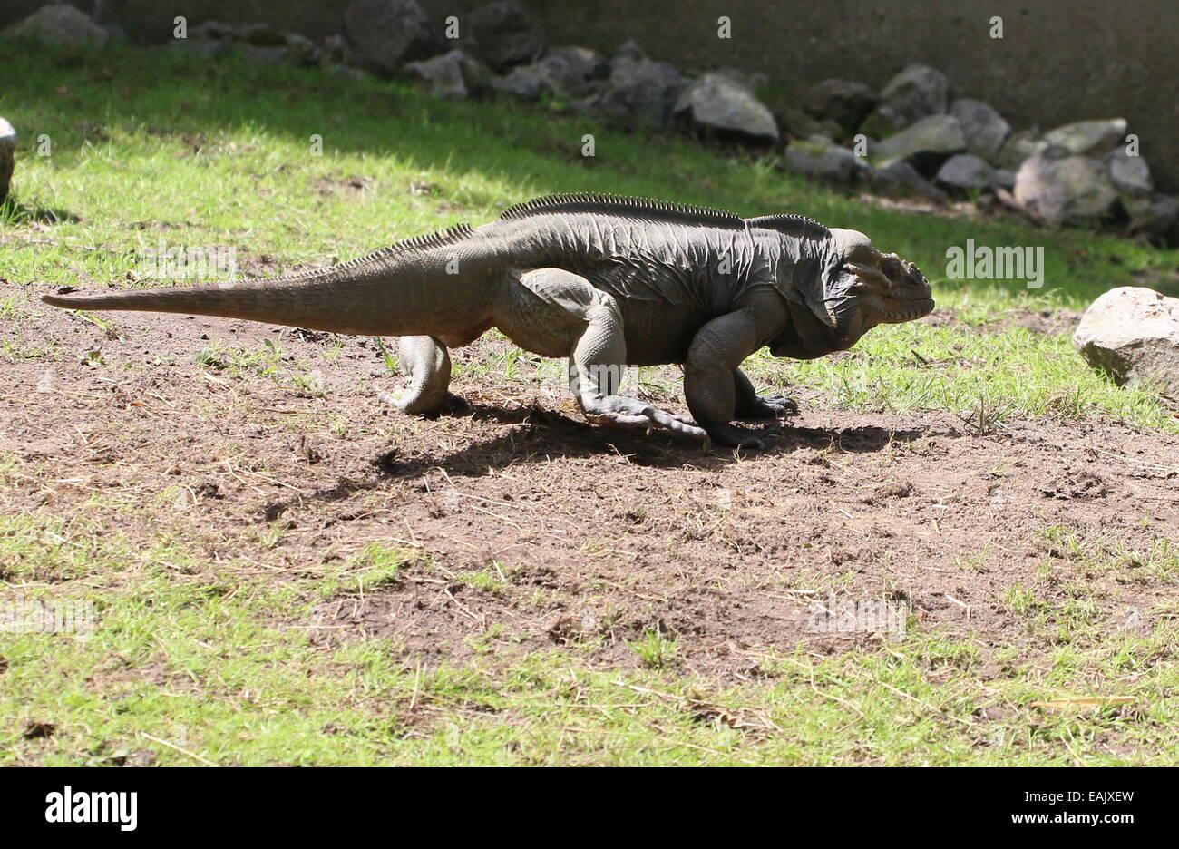 Caribbean Rhinoceros iguana (Cyclura cornuta) walking Stock Photo