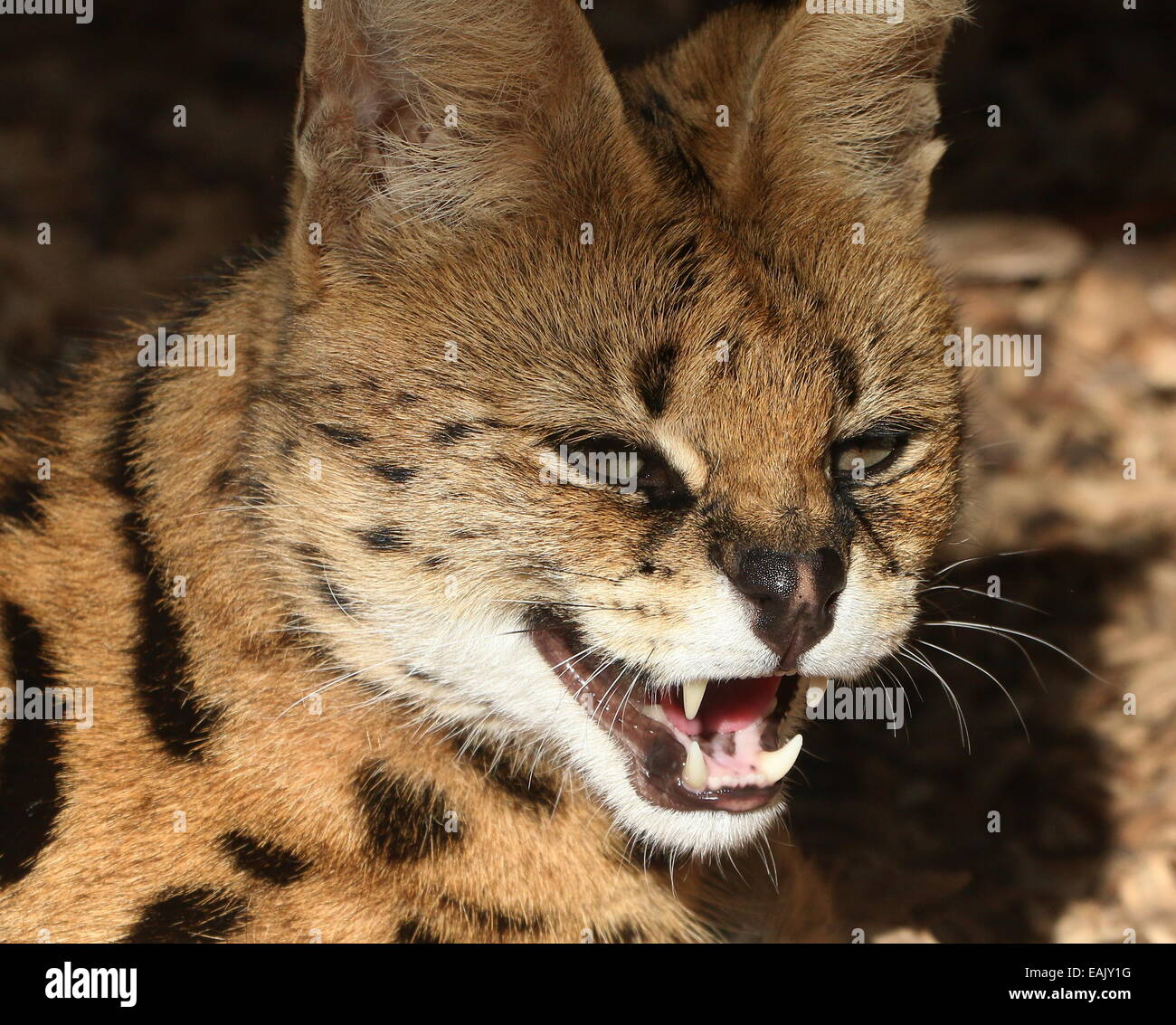 Close-up of the head of the African Serval (Leptailurus serval) snarling, teeth showing - Stock Image