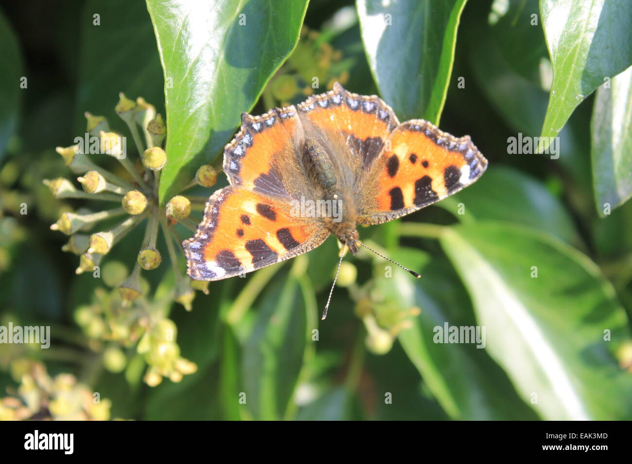 Small Tortoiseshell butterfly on ivy - Stock Image