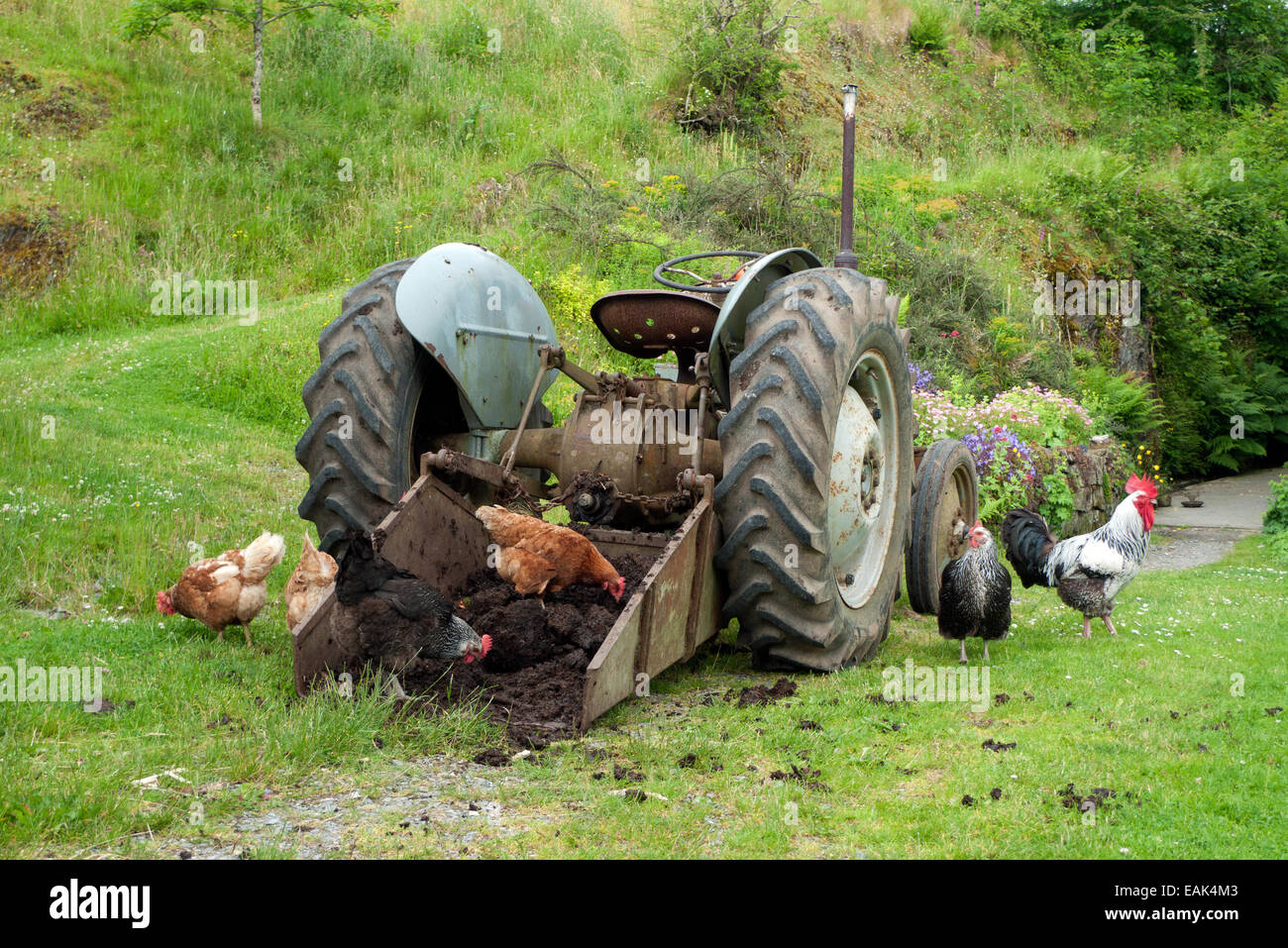 Free range chickens & rooster pecking at manure in bucket of a tractor on smallholding in Carmarthenshire Wales - Stock Image
