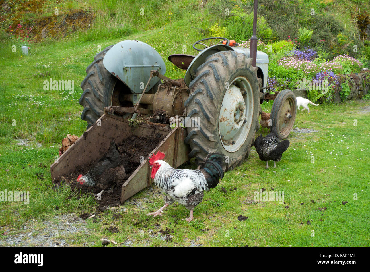Free range chickens & cockerel pecking at manure in bucket of a tractor on smallholding in Carmarthenshire Wales - Stock Image