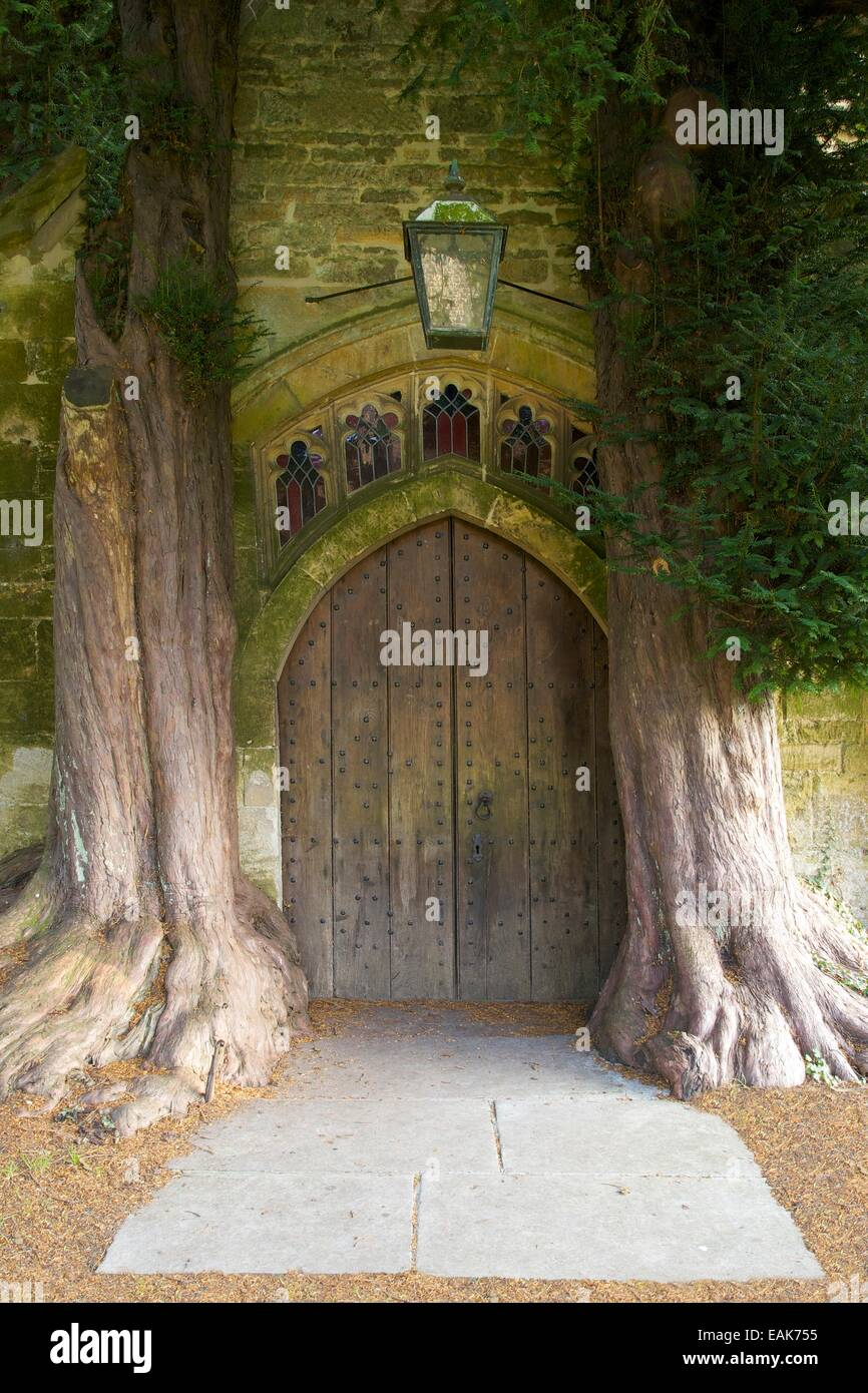 Ancient yew trees growing in North Porch, St Edwards Church, Stow-on-the-Wold, Gloucestershire, Cotswolds, England, - Stock Image