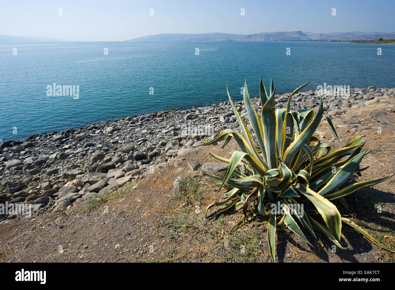 Cactus near the beach of Capernaum on the sea of Galilee Stock Photo