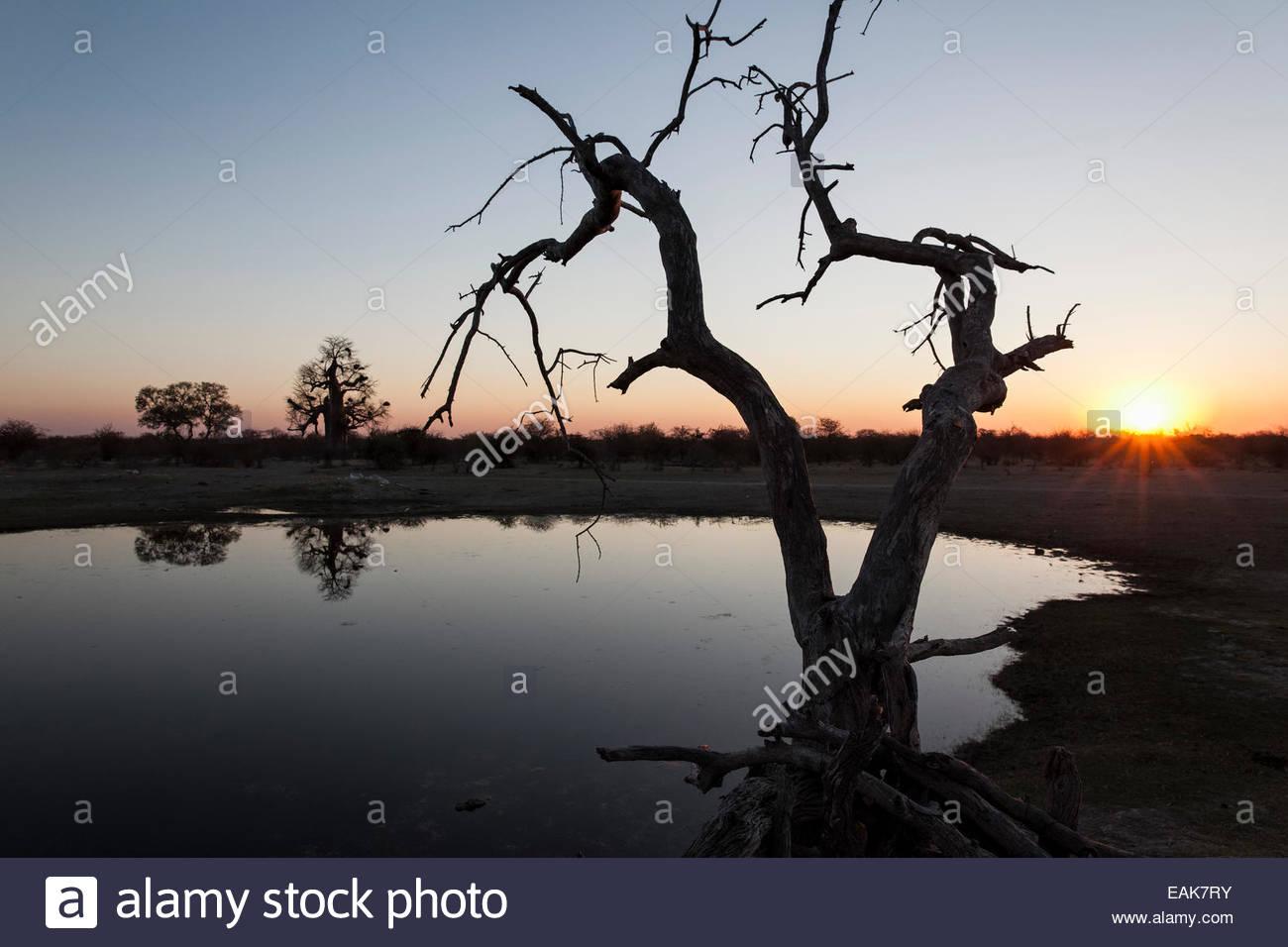 Dead tree at a water hole, Botswana - Stock Image