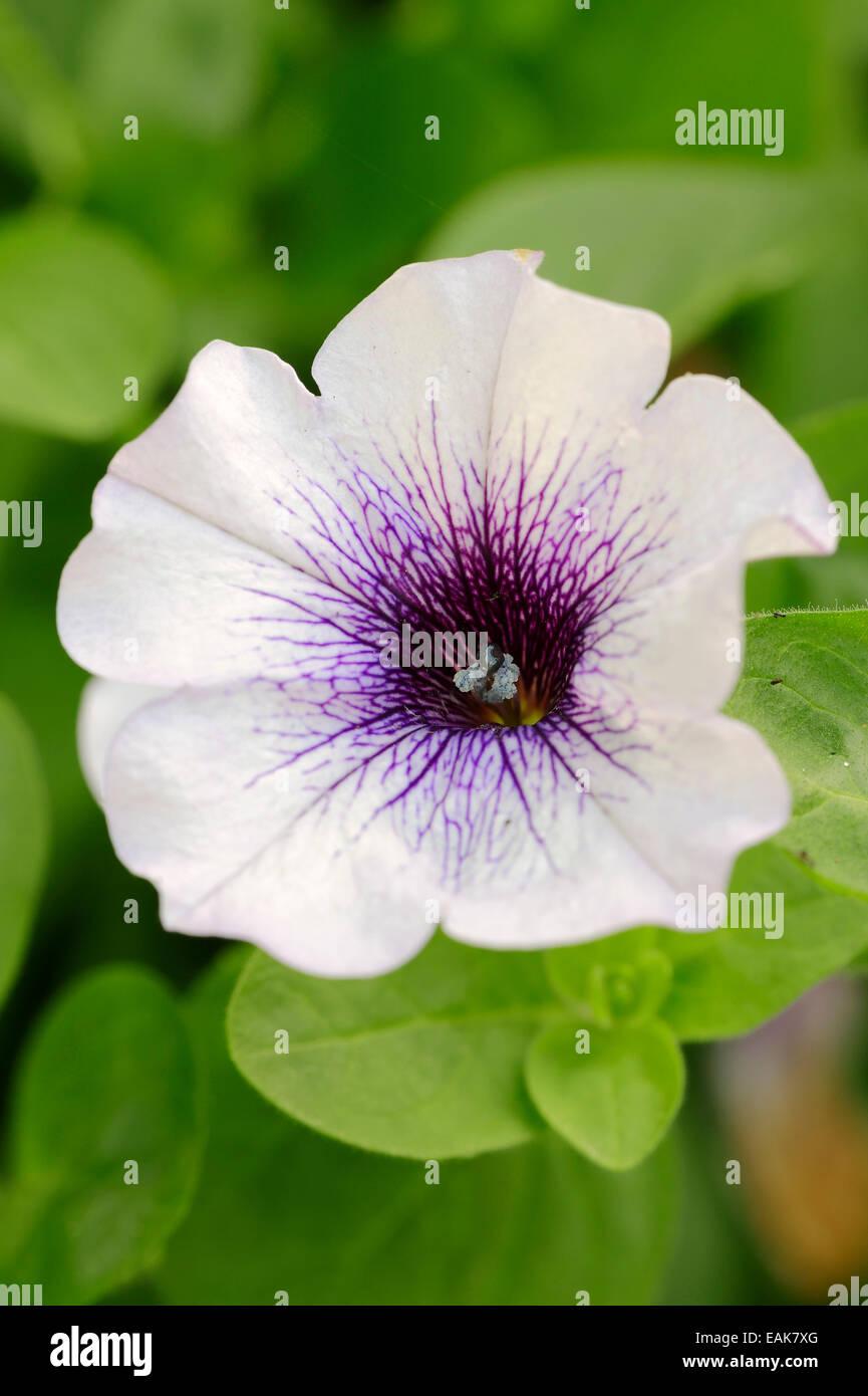 Petunia (Petunia hybrid), North Rhine-Westphalia, Germany - Stock Image