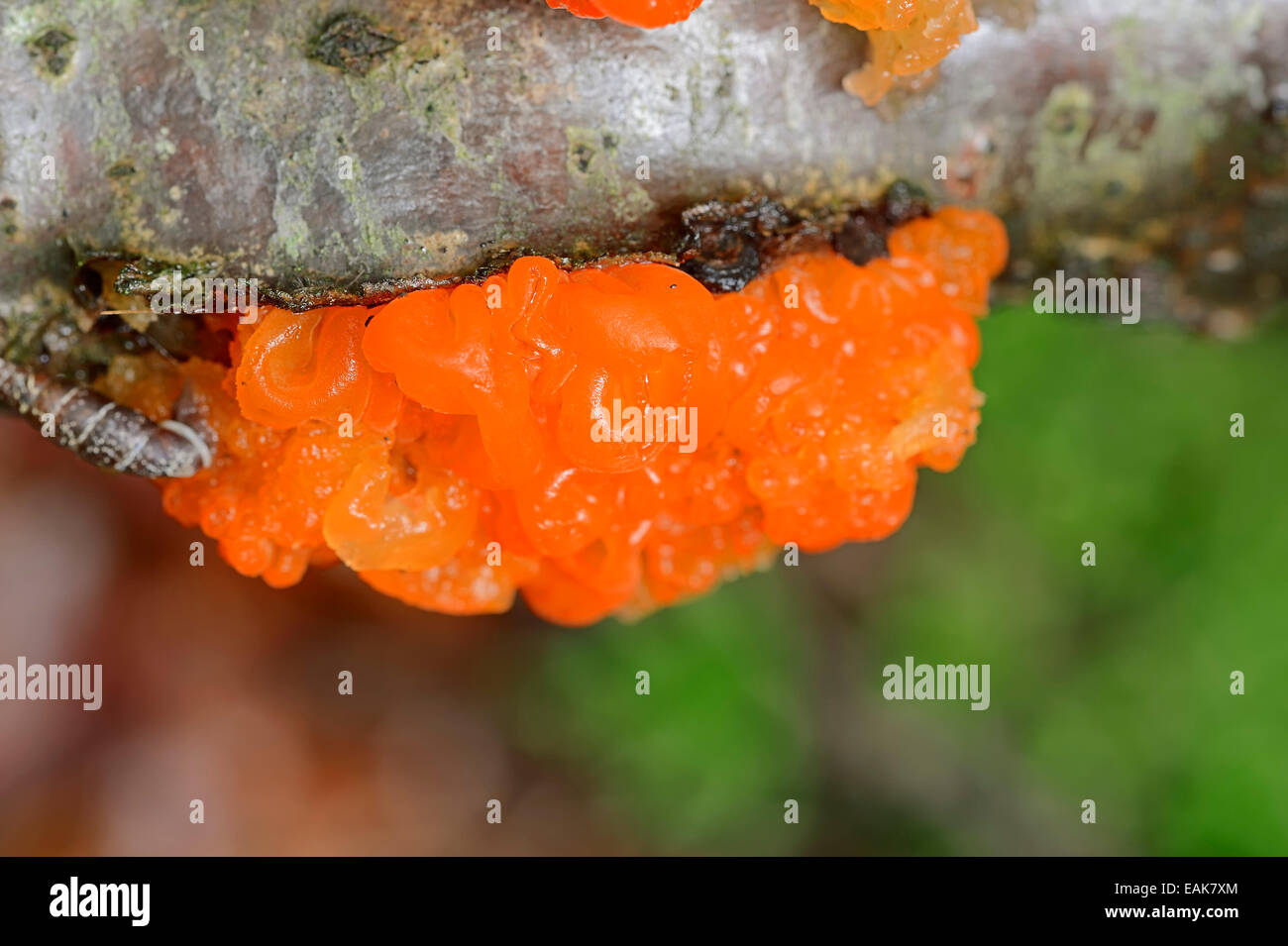 Yellow Brain, Golden Jelly Fungus or Witches' Butter (Tremella mesenteric), Bavaria, Germany - Stock Image