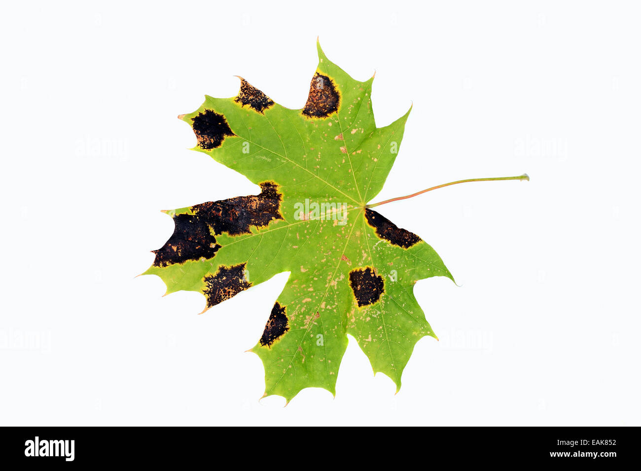 Tar Spot Fungus (Rhytisma acerinum) on the leaf of a Norway Maple (Acer platanoides), North Rhine-Westphalia, Germany - Stock Image