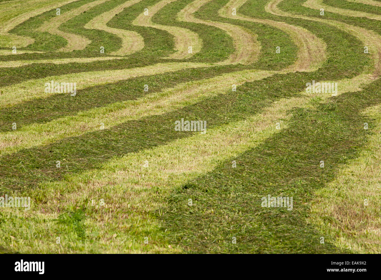 Hayfield raked in geometric patterns, Compton, Eastern Townships, Quebec Province, Canada - Stock Image