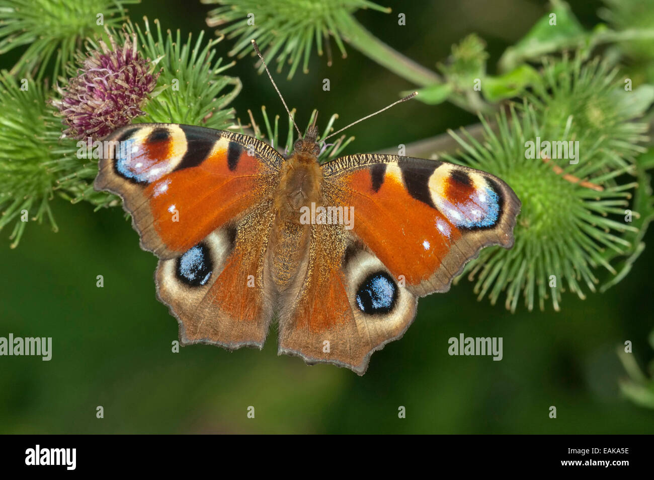 European Peacock or Peacock Butterfly (Inachis io) in search of nectar on a Greater Burdock (Arctium lappa), Baden - Stock Image