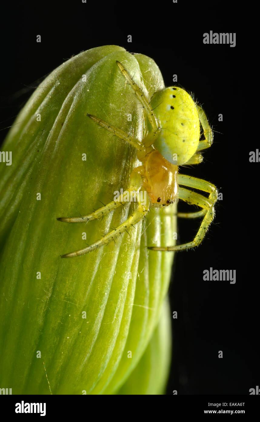 Cucumber Green Spider (Araniella cucurbitina), young animal on a Bearded Iris (Iris germanica), macro shot, Baden - Stock Image