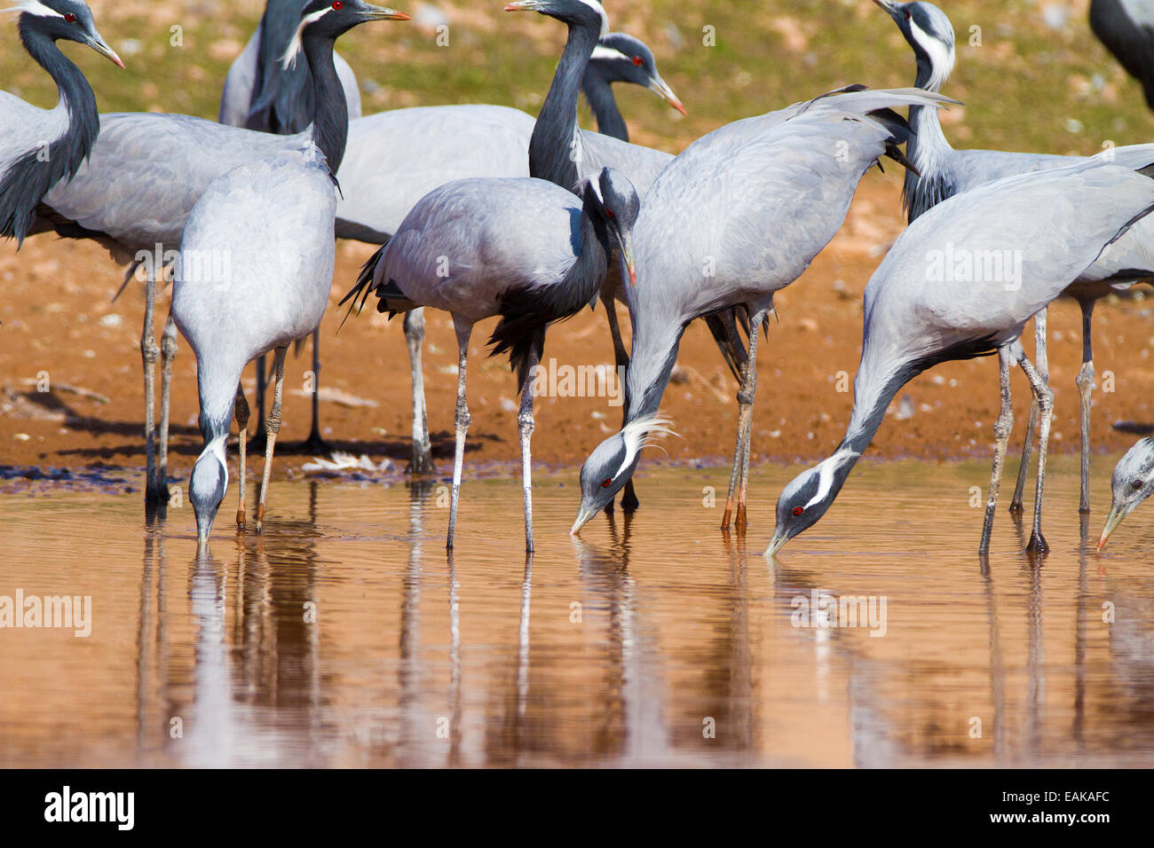 Indian Crane Bird Stock Photos & Indian Crane Bird Stock