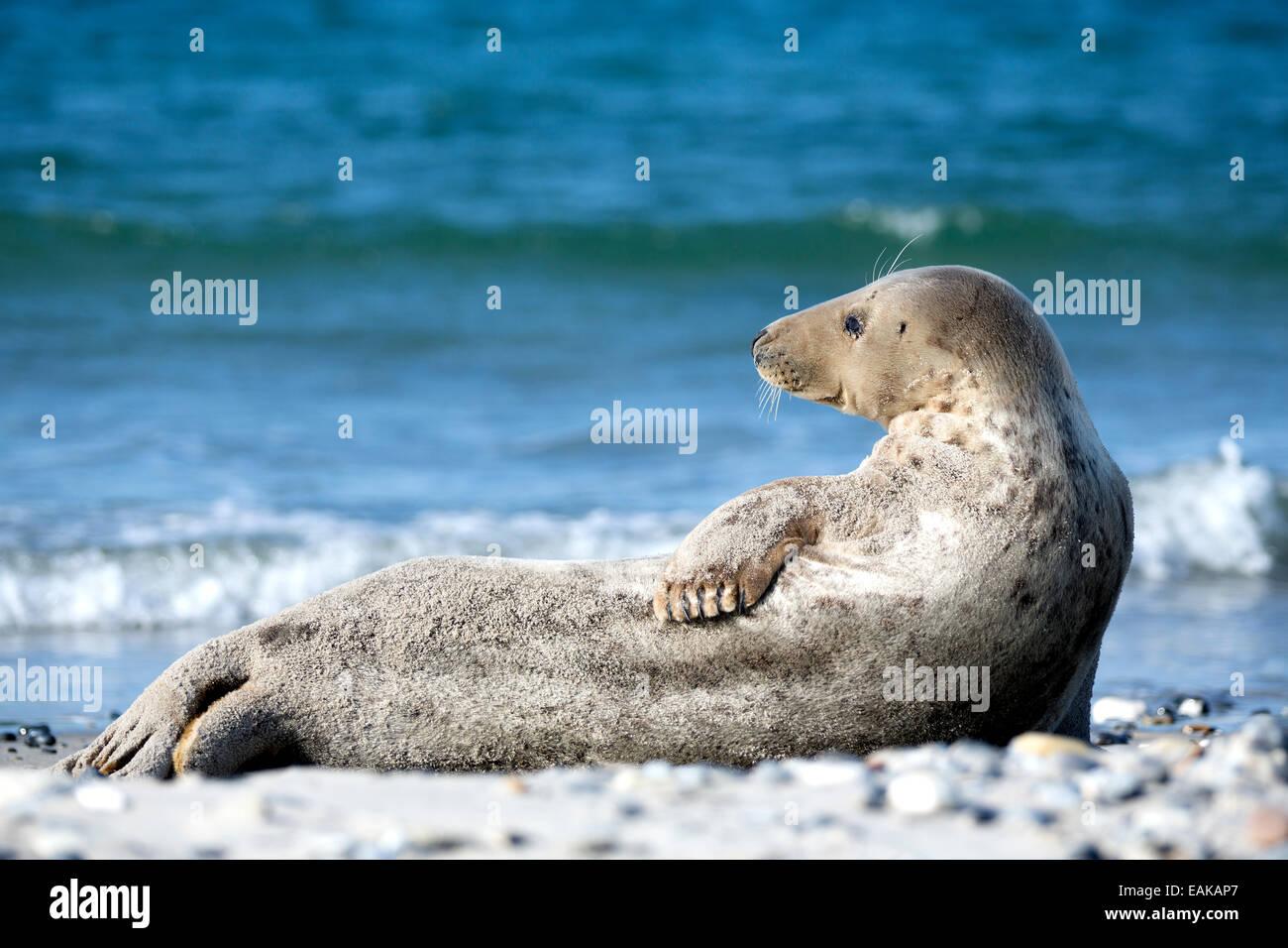 Grey Seal (Halichoerus grypus) on the beach, Heligoland, Schleswig-Holstein, Germany Stock Photo