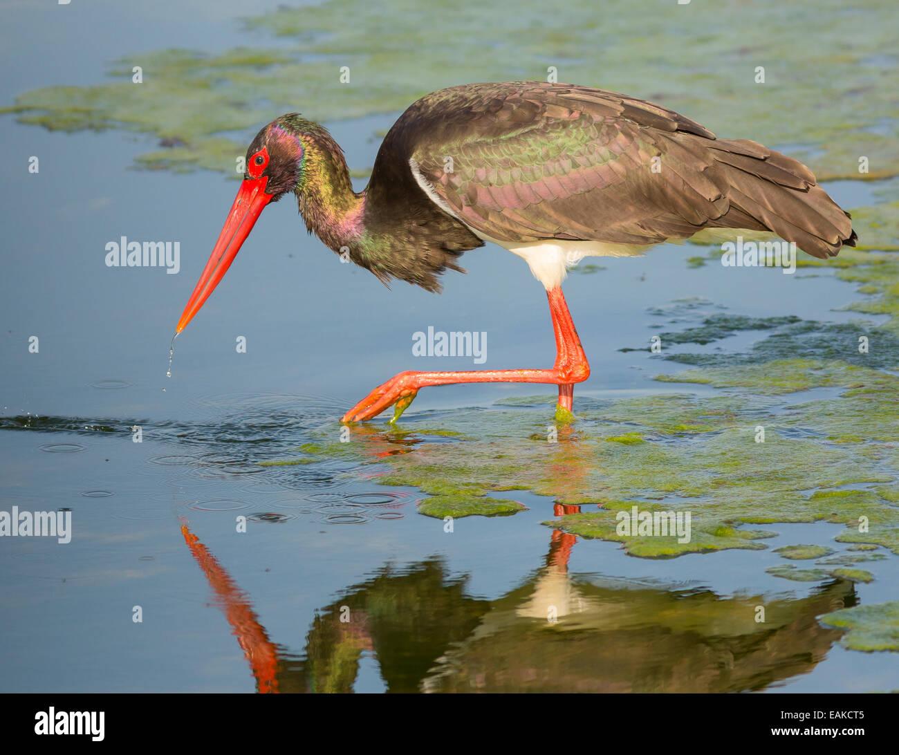 KRUGER NATIONAL PARK, SOUTH AFRICA - Black Stork. - Stock Image