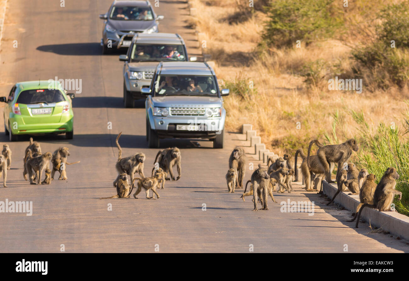 KRUGER NATIONAL PARK, SOUTH AFRICA - Troop of baboons on road with cars. Stock Photo