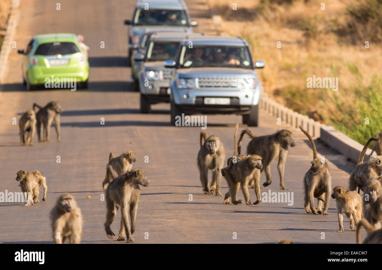 KRUGER NATIONAL PARK, SOUTH AFRICA - Baboons on road with cars. Stock Photo