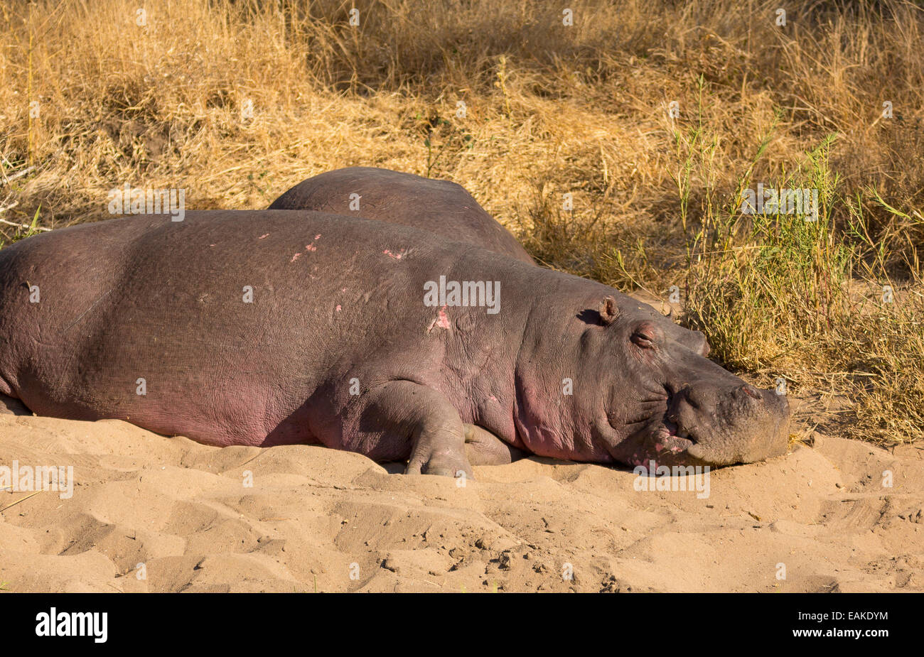 KRUGER NATIONAL PARK, SOUTH AFRICA - Hippopotamus basking on river bank. - Stock Image