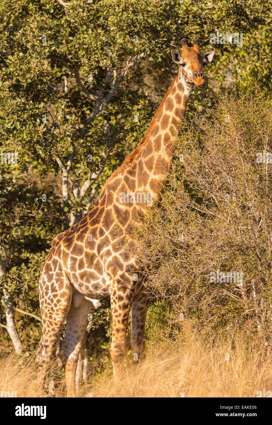 KRUGER NATIONAL PARK, SOUTH AFRICA - Giraffe in bush. - Stock Image