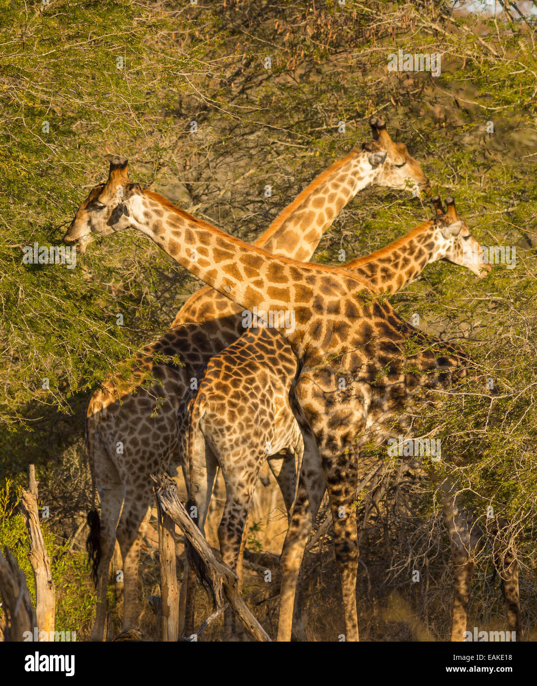 KRUGER NATIONAL PARK, SOUTH AFRICA - Three giraffe feeding in trees. - Stock Image