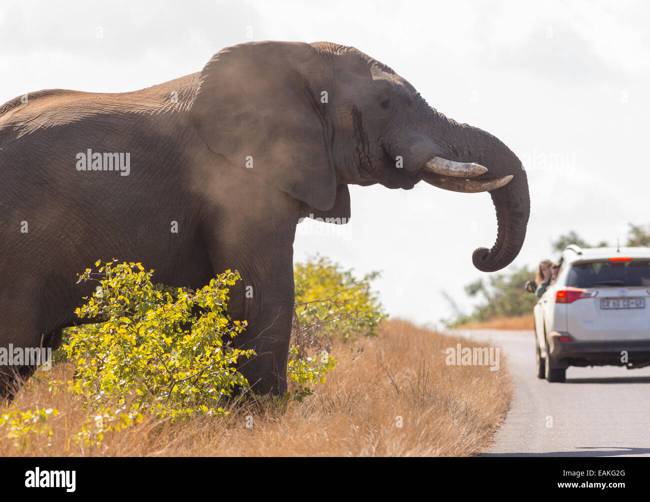 KRUGER NATIONAL PARK, SOUTH AFRICA - Elephant approaches road with car. - Stock Image