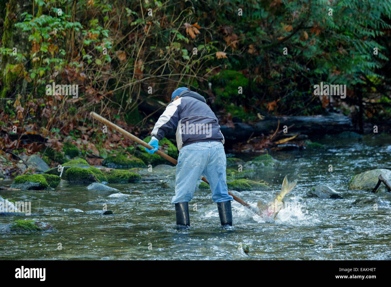 First Nations man spearing Chum salmon  in Goldstream River during autumn spawn-Goldstream Provincial Park, Victoria, - Stock Image