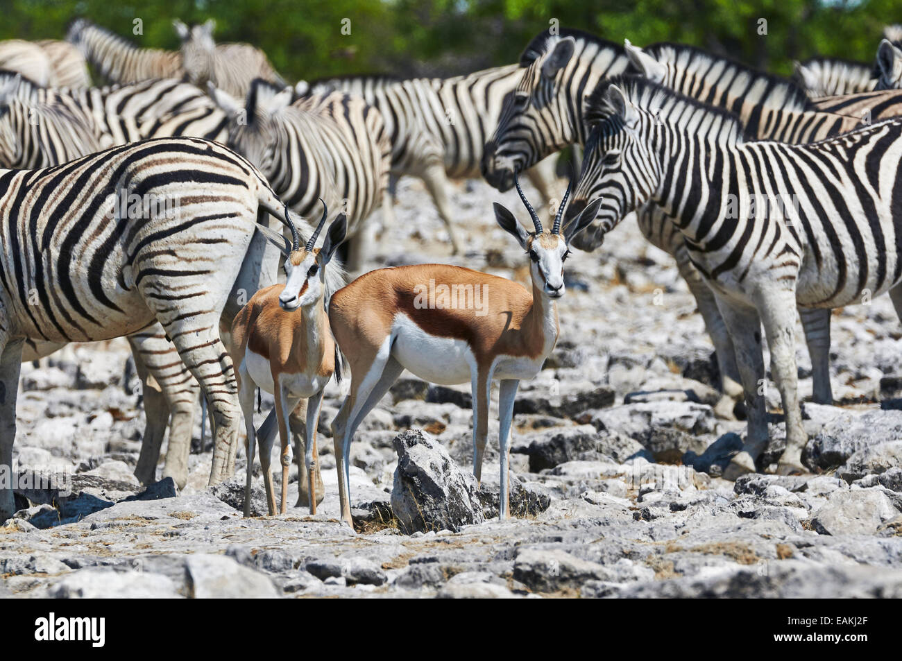 Zebras and Springboks in the hot sun near a waterhole in the Etosha National Park in Namibia - Stock Image