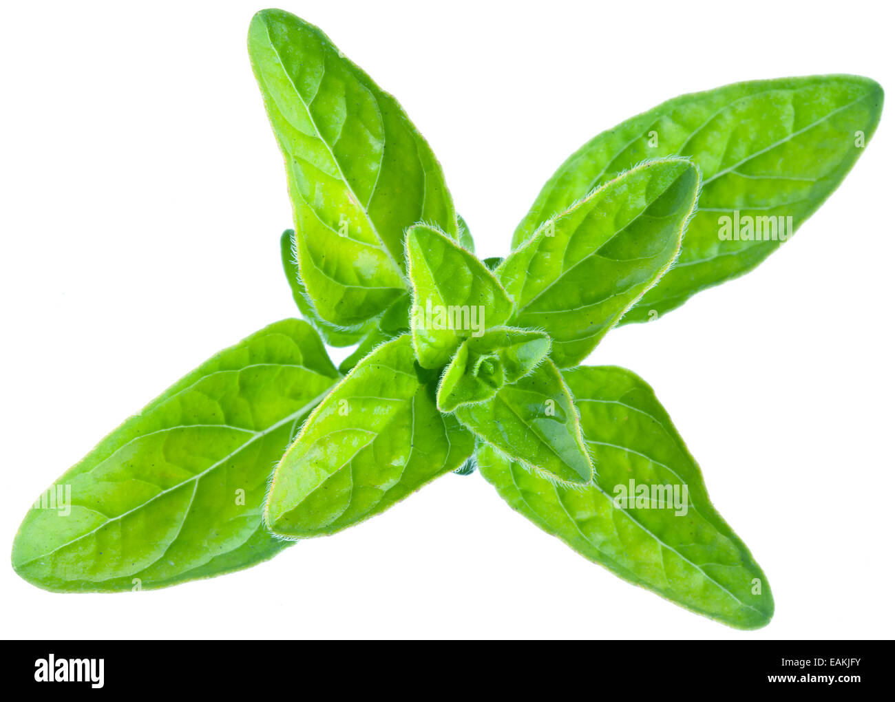 Green fresh marjoram leaves on a white background. Clipping path. - Stock Image