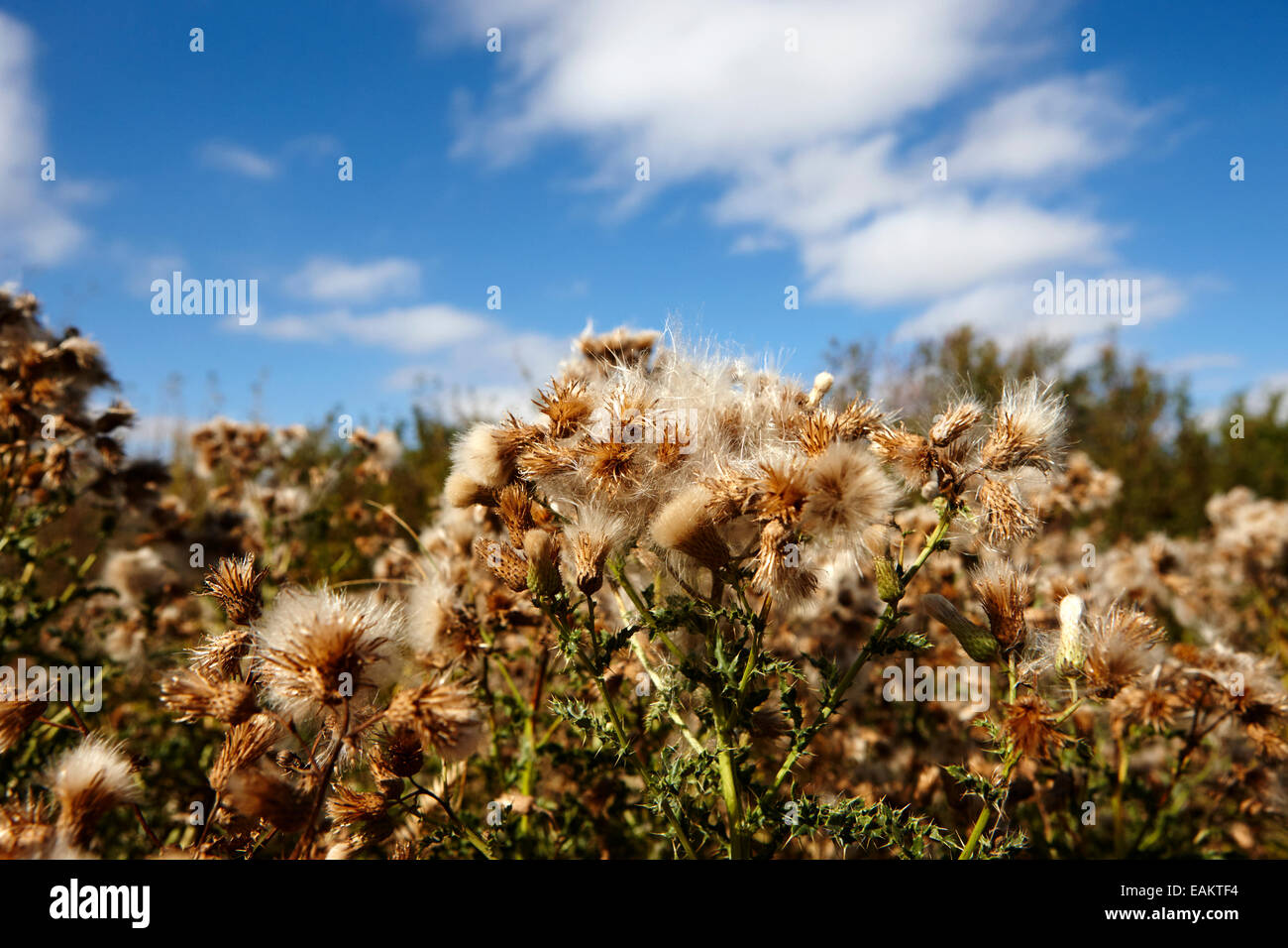 seeding canadian thistle plants Saskatchewan Canada - Stock Image