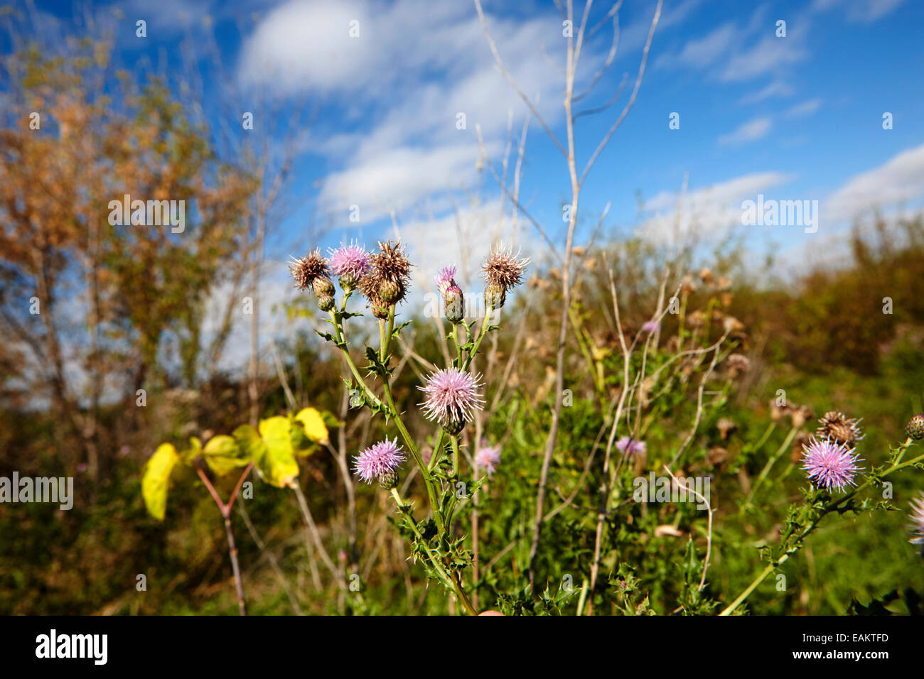 canadian thistle plants Saskatchewan Canada - Stock Image