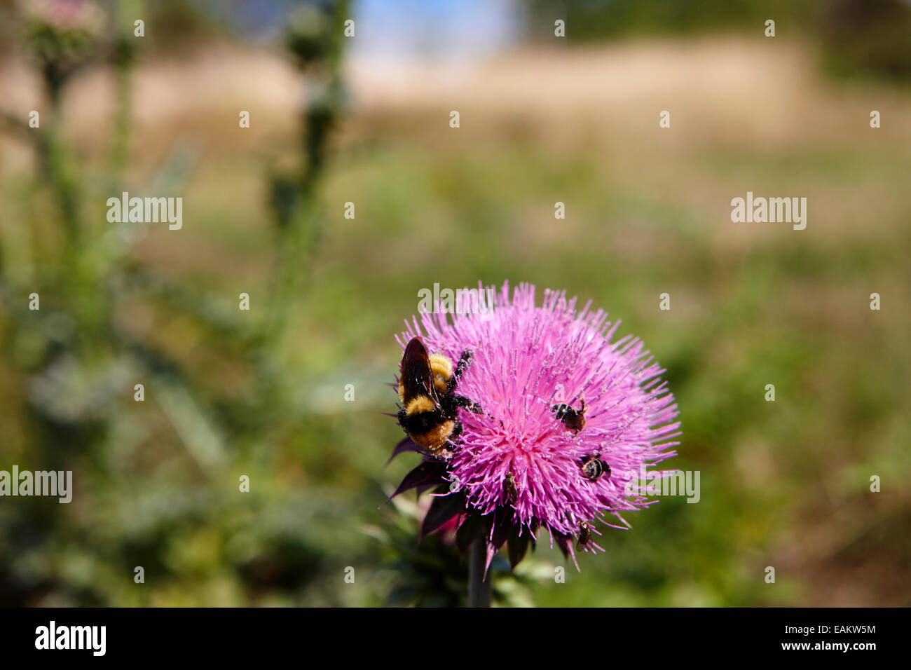 bee and insects collecting pollen from canadian thistle plants Saskatchewan Canada - Stock Image