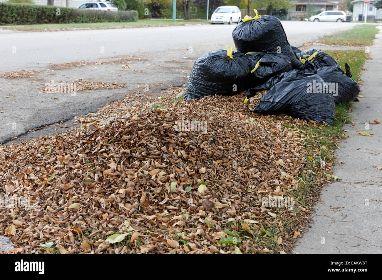 pile of dead collected leaves and bagged leaves ready for collection Saskatchewan Canada - Stock Image