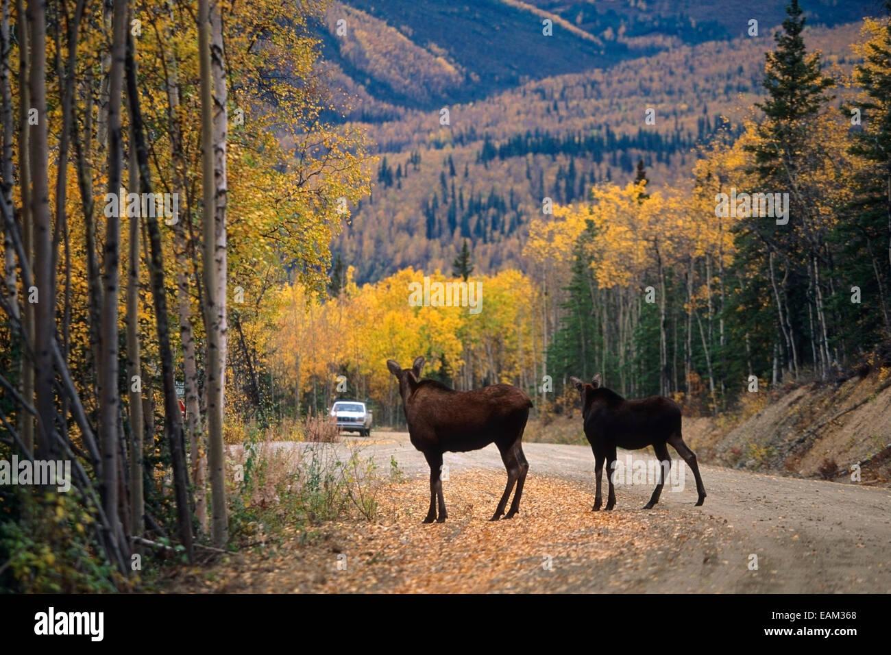 Moose cow calf gravel road fairbanks interior alaska - Interior women s health fairbanks ak ...