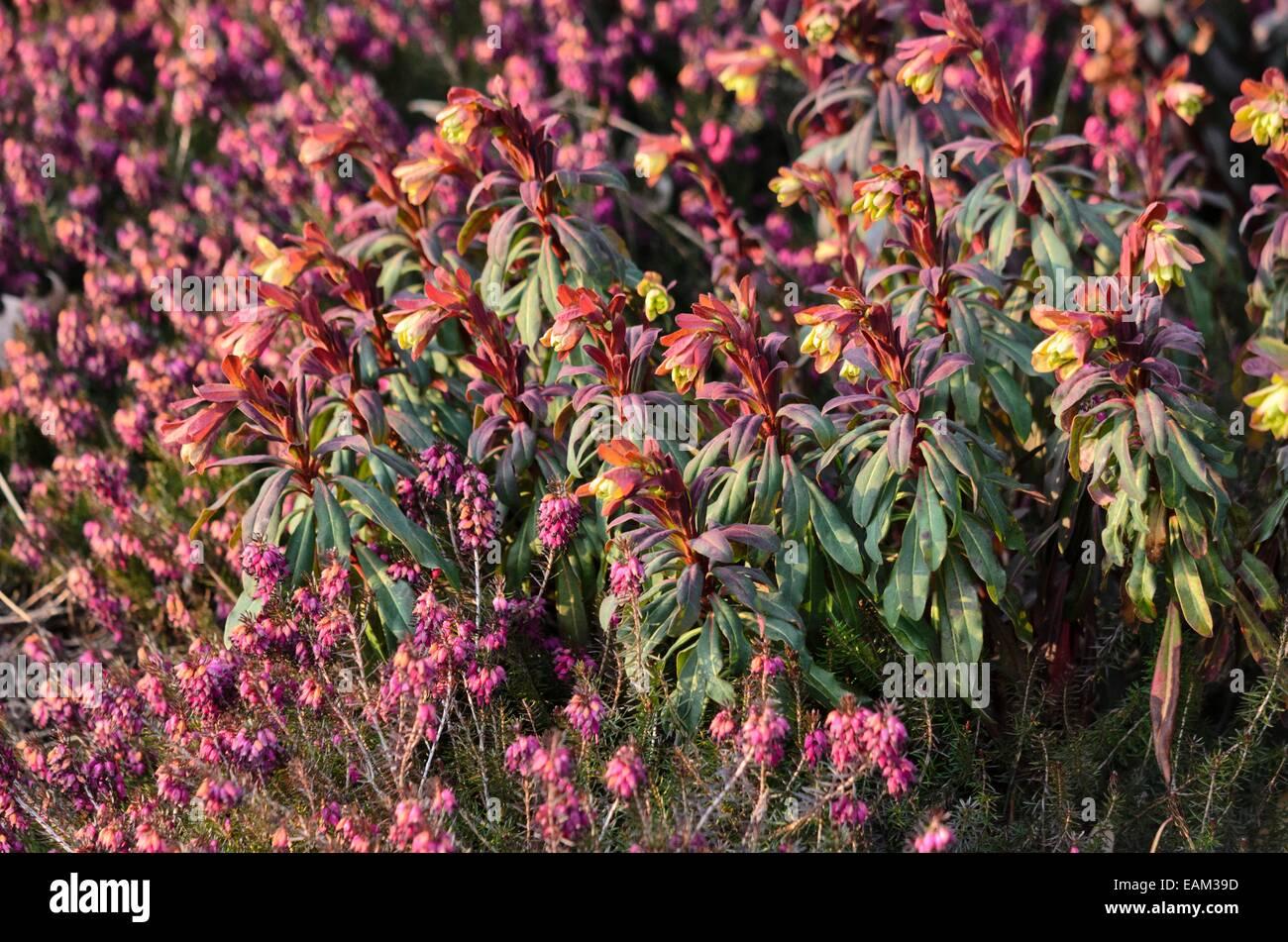 Wood spurge (Euphorbia amygdaloides 'Purpurea') and winter heather (Erica carnea syn. Erica herbacea) - Stock Image