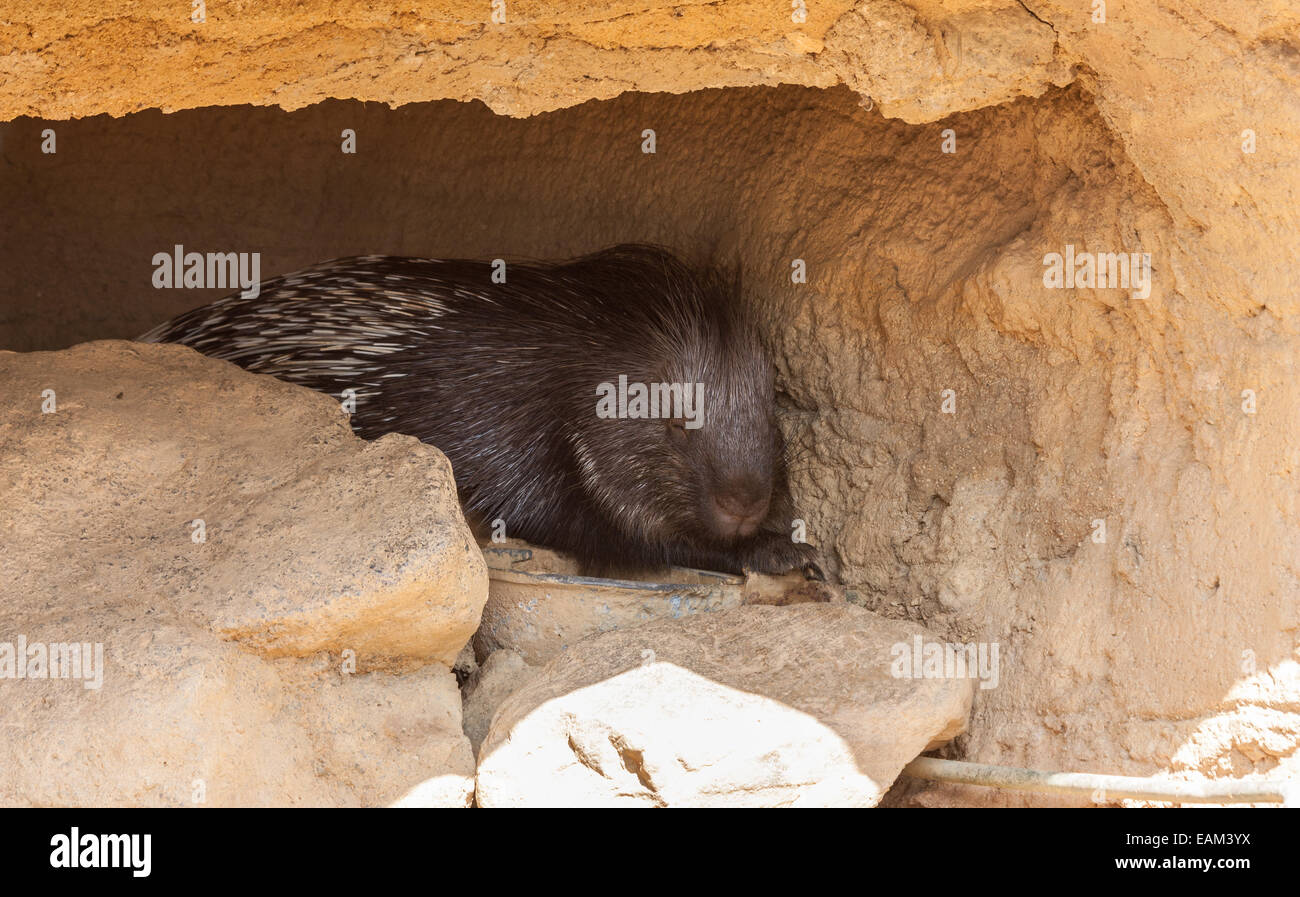 Huge porcupine sleeping in shadow during a hot day - Stock Image