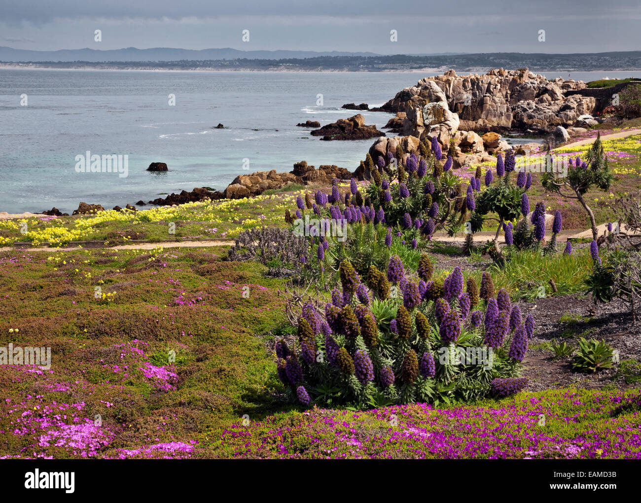 CA02412-00...CALIFORNIA - Colorful flowers blooming along the Monterey waterfront on Monterey Bay. - Stock Image