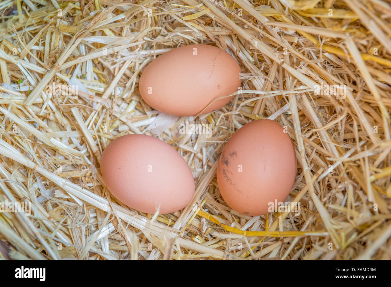 Freshly laid eggs in an egg box - Stock Image