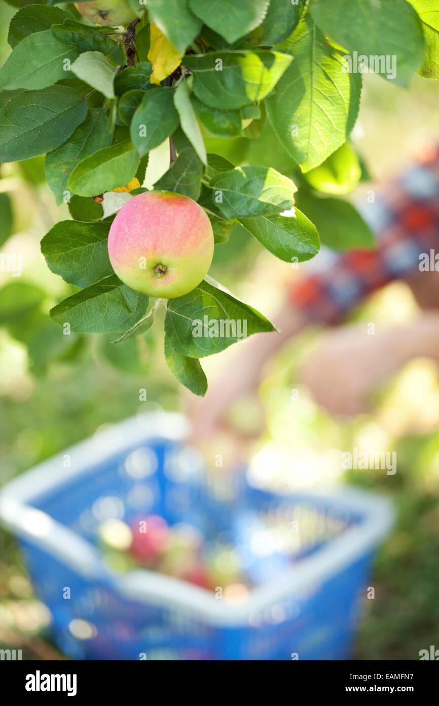 Fresh apples in a garden Stock Photo