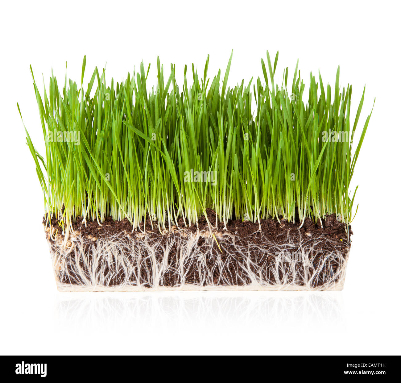 Isolated grass with roots in earth on white background - Stock Image