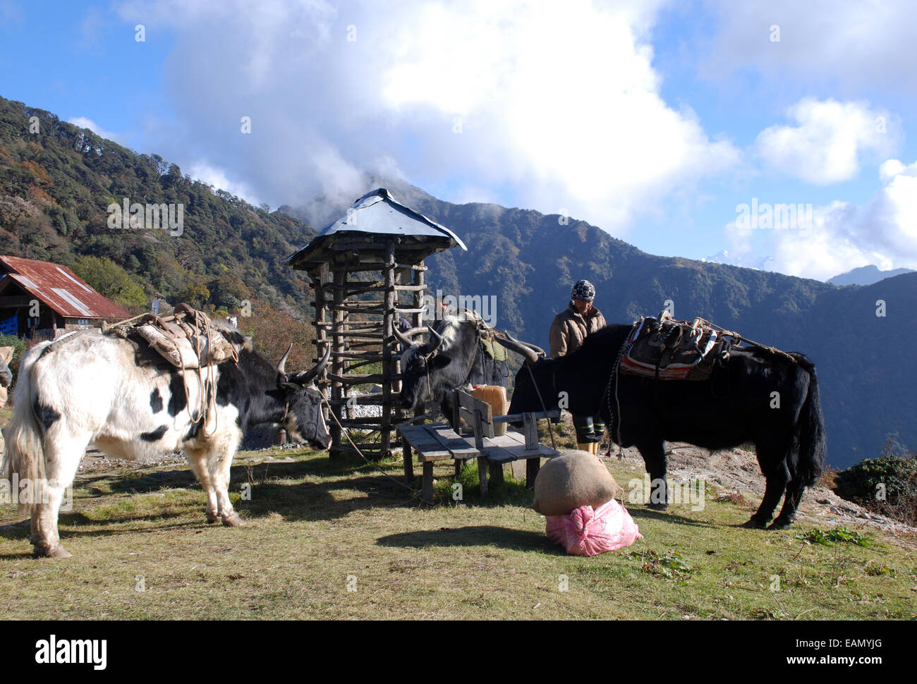 Yaks await loading at a high point in the Himalayan foothills in the Indian state of Sikkim - Stock Image