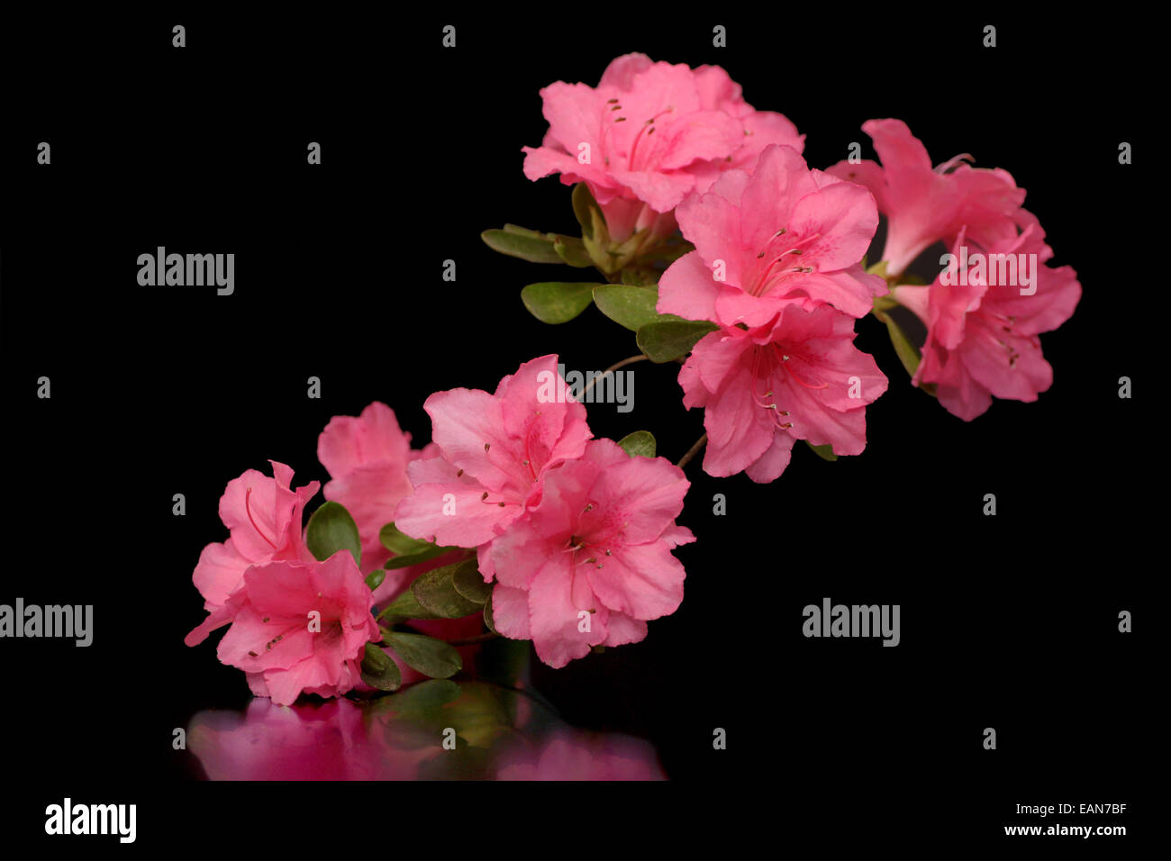 Rhododendron Pink Flower On Black Background Pink Stock Photos