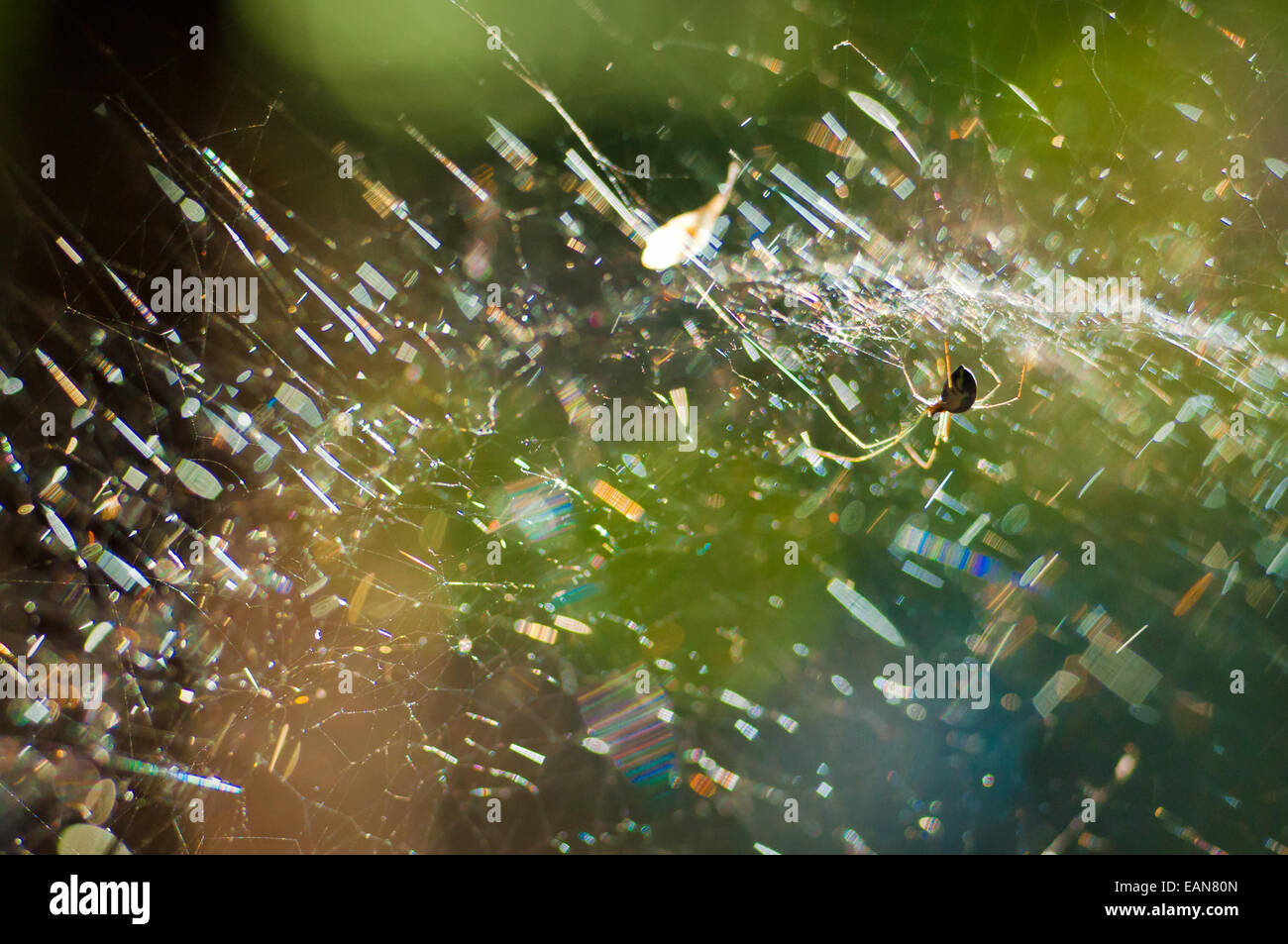 A line weaving spider on its net, lit by the sun creating beautiful effect - Stock Image