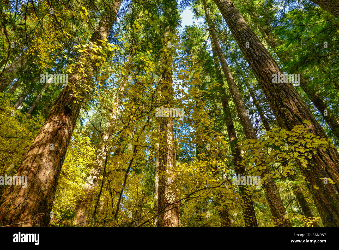 Vine maple and Douglas fir trees in Fall Color on North Fork Trail; North Fork of the Middle Fork Willamette River, - Stock Image