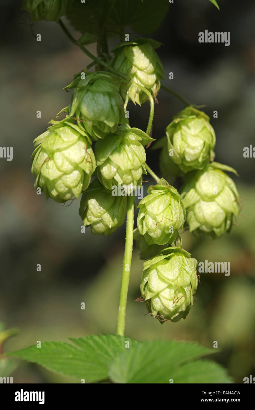 Close-up of hop umbels farmed in an urban gardening project in Germany - Stock Image