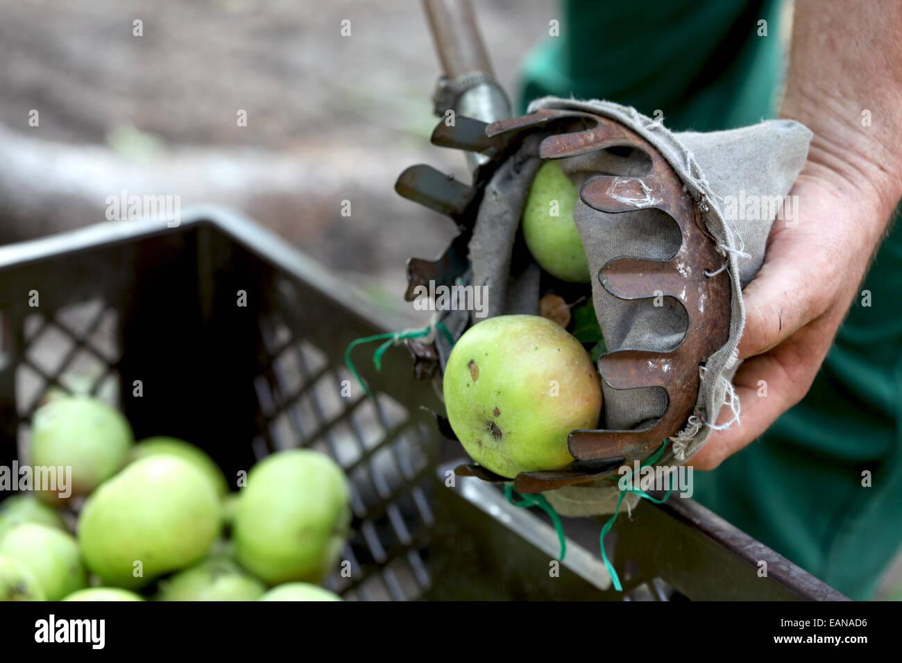 Urban apple harvest using a pick aid - Stock Image