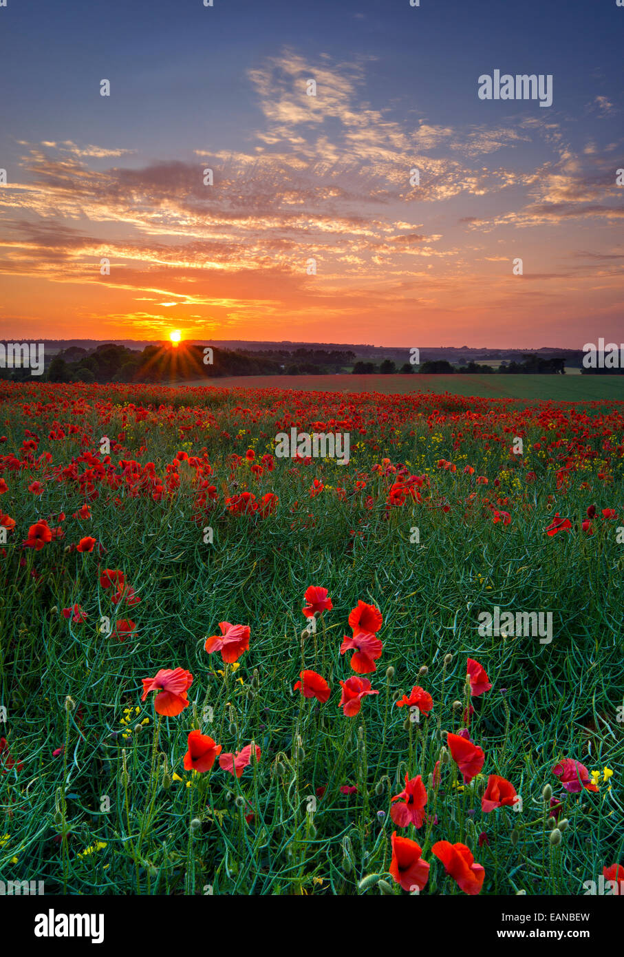 Poppies at Sunset, Wiltshire,England - Stock Image