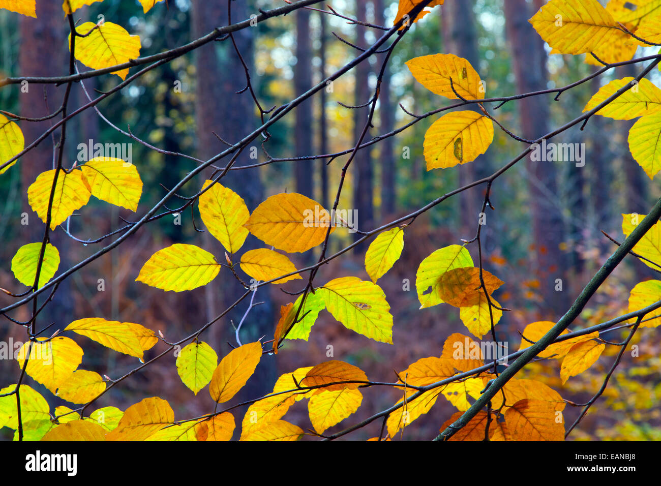 Beech Fagus sylvatica leaves changing colour in Autumn - Stock Image