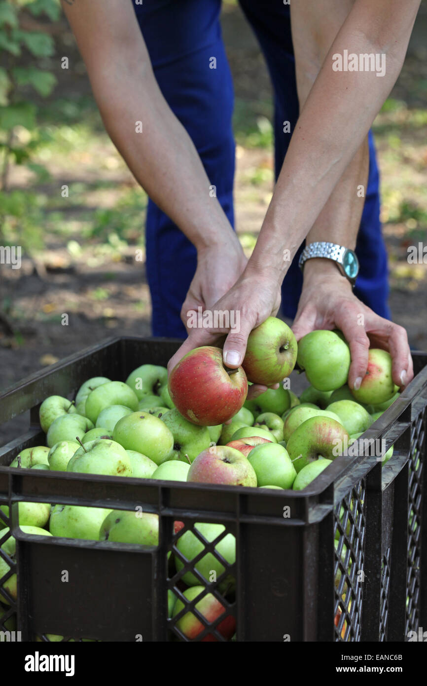 Close-up of hands gathering apples in an urban gardening project - Stock Image